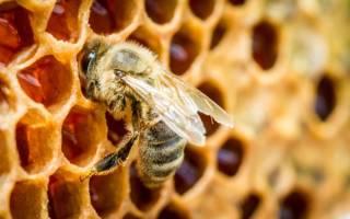 Пчелиный подмор лечение аденомы простатита и не только